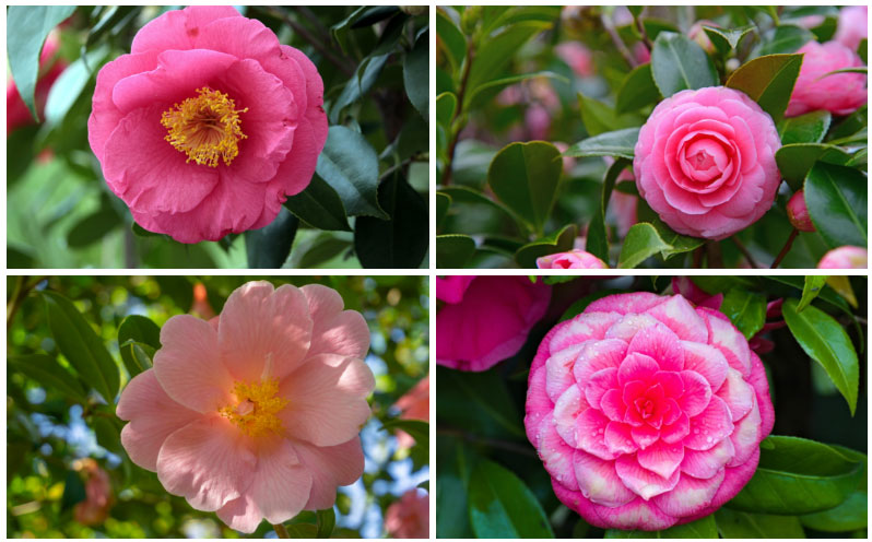 20 Different Types Of Camellia Plants Garden Lovers Club