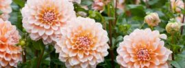 Tips on Growing and Caring for Dahlias