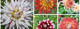 18 Different Types of Dahlias (Photos)