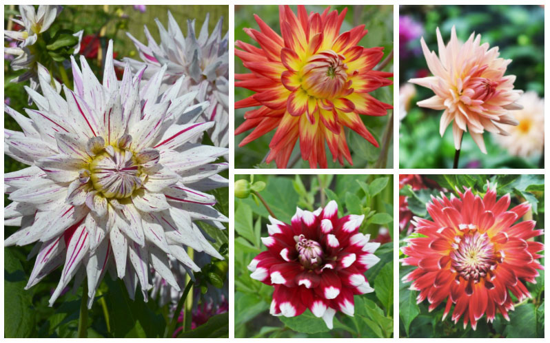 18 Different Types Of Dahlias Photos Garden Lovers Club