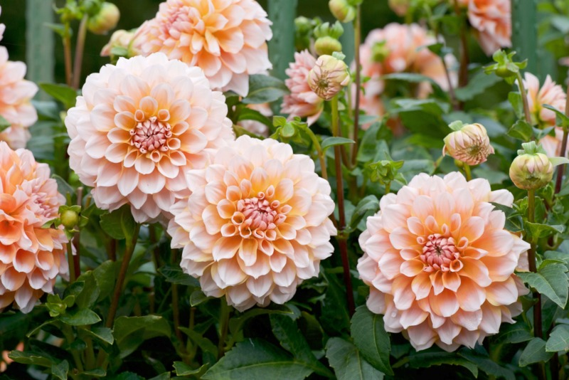 10 Outstanding Tall Growing Annuals Garden Lovers Club