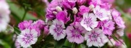 Tips for Growing Dianthus (Growing Guide)