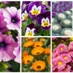 Fall-Blooming Annuals