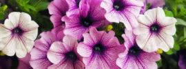 Tips on Growing Beautiful Petunias