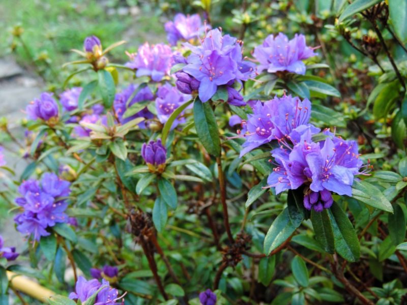 Rhododendron 'Blue Tit'