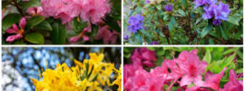 10 Different Types of Azaleas Plants