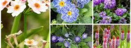 17 Different Types of Primrose Plants