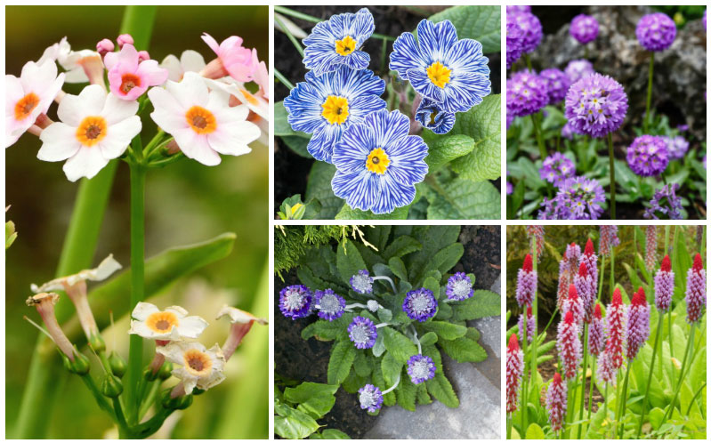 17 Diffe Types Of Primrose Plants