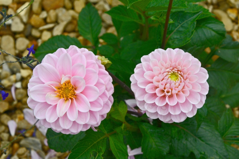 Wizard of Oz Dahlias