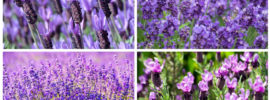 20 Different Types of Lavender Plants