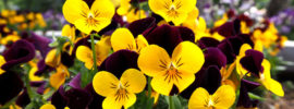 17 Beautiful Different Types of Pansies