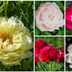 peonies collage