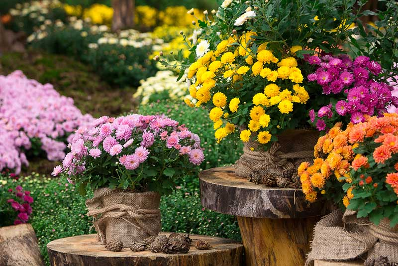 Chrysanthemum in pots