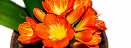 Clivia Plant: Tips for Growing Beautiful Clivia Plants