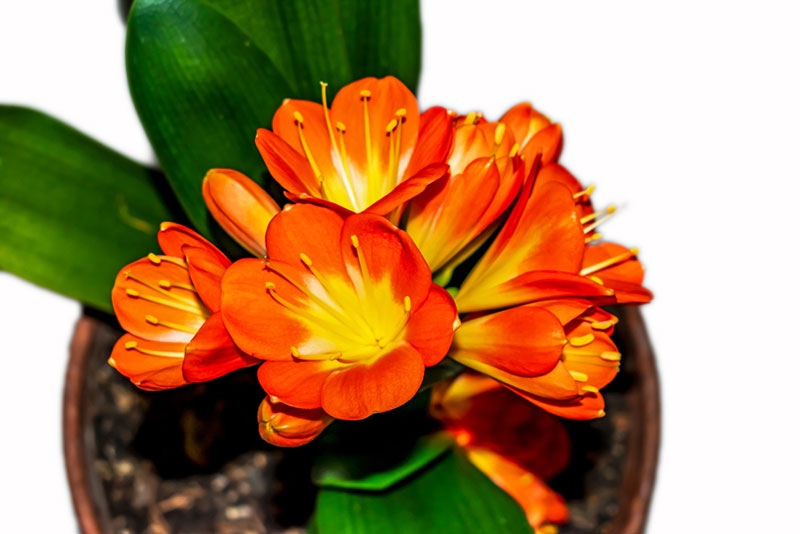 Clivia houseplant in pot