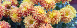 Chrysanthemum Growing Guide: Tips on How to Grow