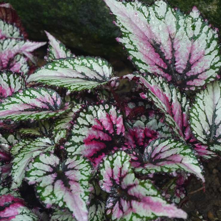 Growing Painted Leaf Begonia Rex Begonia Garden Lovers Club