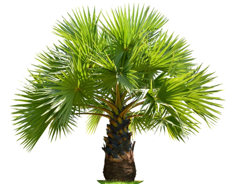 Arenga Palm (Dwarf Sugar Palm)