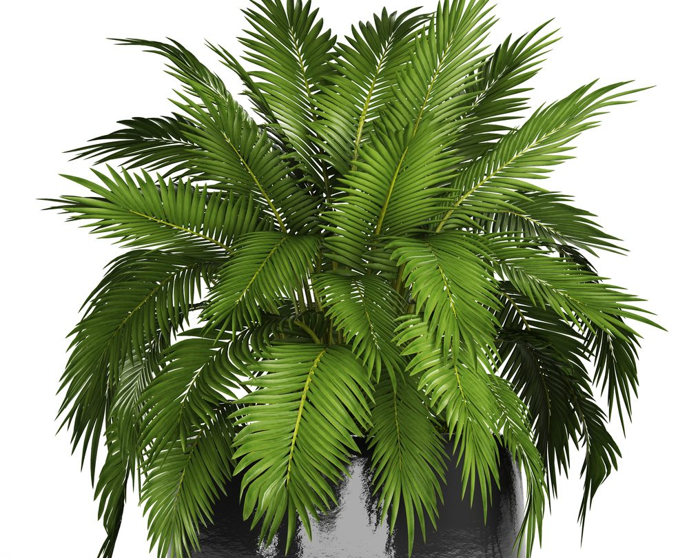 Cat Palm (Chamaedorea cataractarum)
