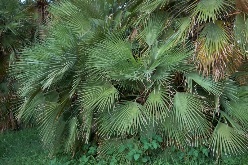 European Fan Palm (Chamaerops humilis)