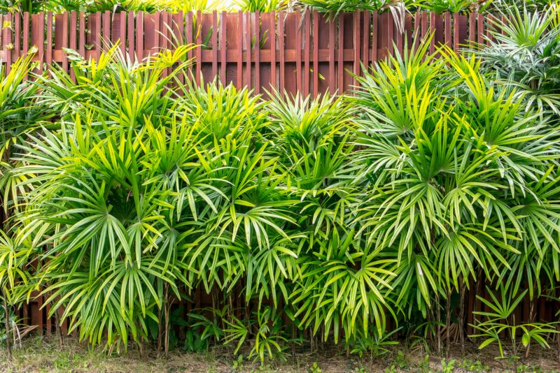 Lady Palm (Rhapis excelsa)