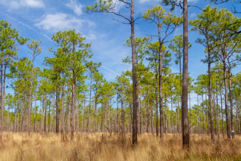 Longleaf Pine (Pinus palustris Mill)