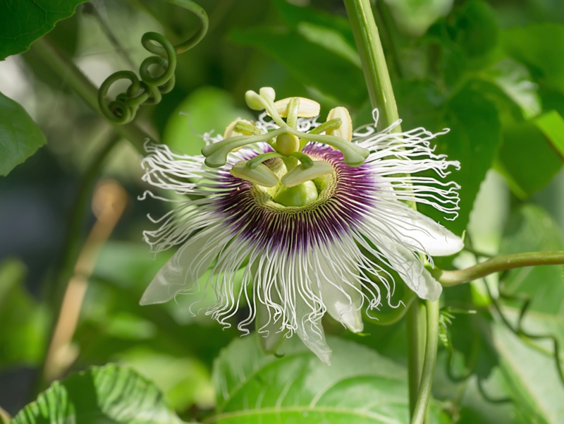 Passion Vine (Passiflora spp.)