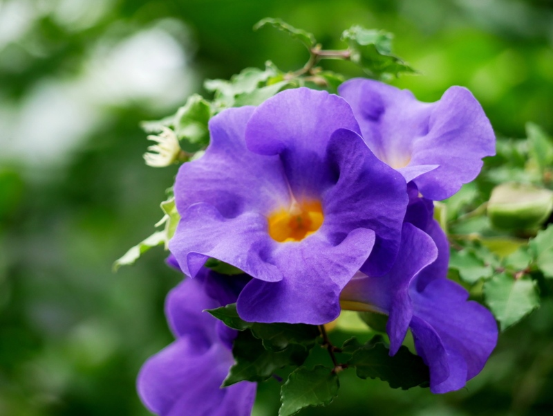Thunbergia (Thunbergia erecta 'King's Mantle')