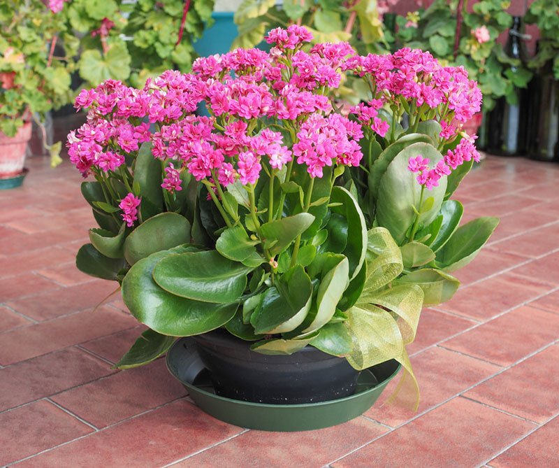 Growing Gorgeous Flowering Kalanchoe Quick Guide