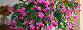 Tips on Feeding Your Christmas Cactus