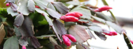 Why are my Christmas Cactus Flower Buds Falling?