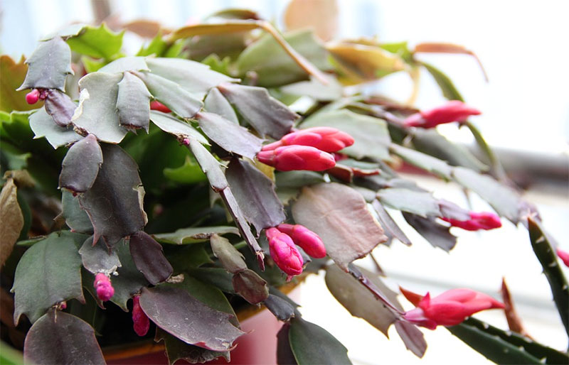 Christmas Cactus Flower Buds Falling