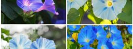13 Different Types of Morning Glory (Photos)