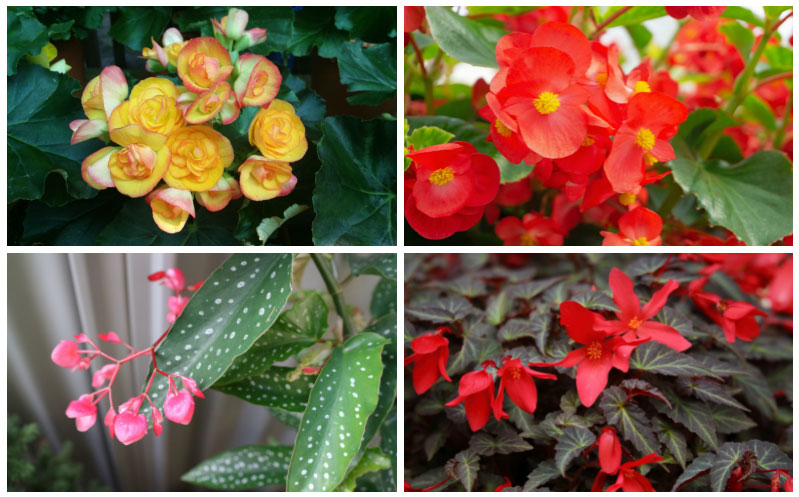 The Different Types Of Begonias Garden Lovers Club