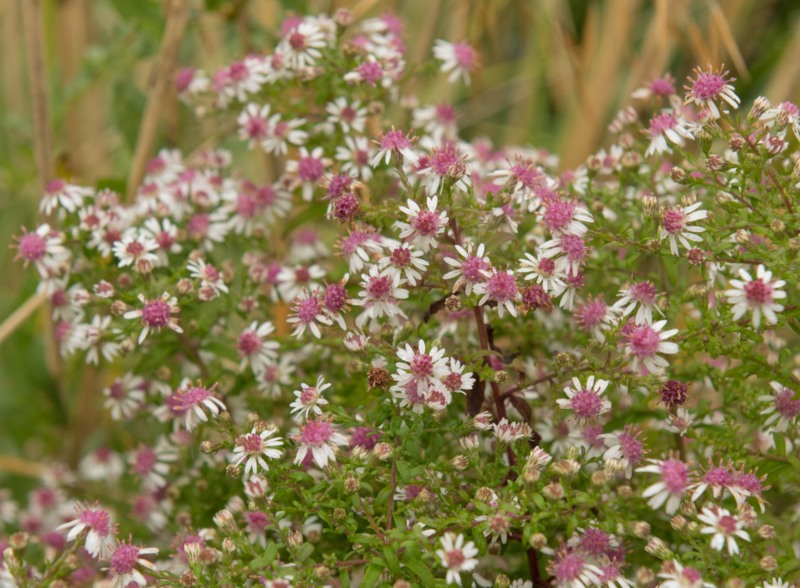Calico-Aster