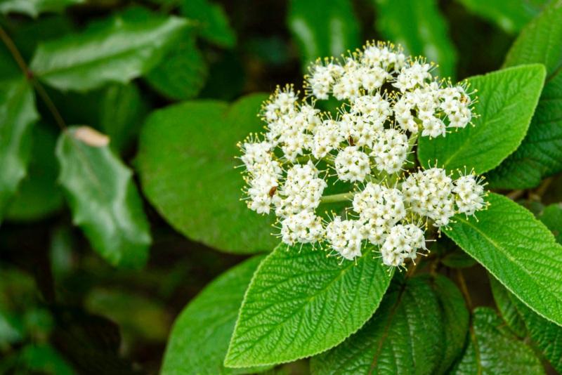 Leatherleaf-Viburnum-(Viburnum-rhytidophyllum)