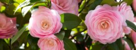 Tips on Growing Camellia Plants (Growing Guide)