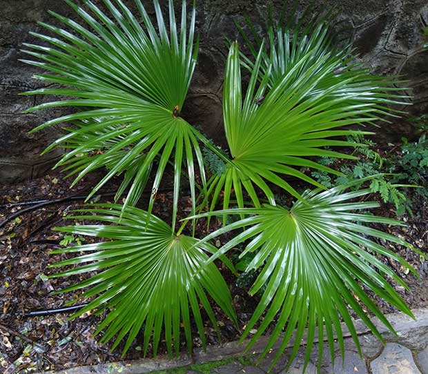 Small Chinese Fan Palm