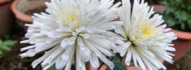 The Different Types of Chrysanthemums