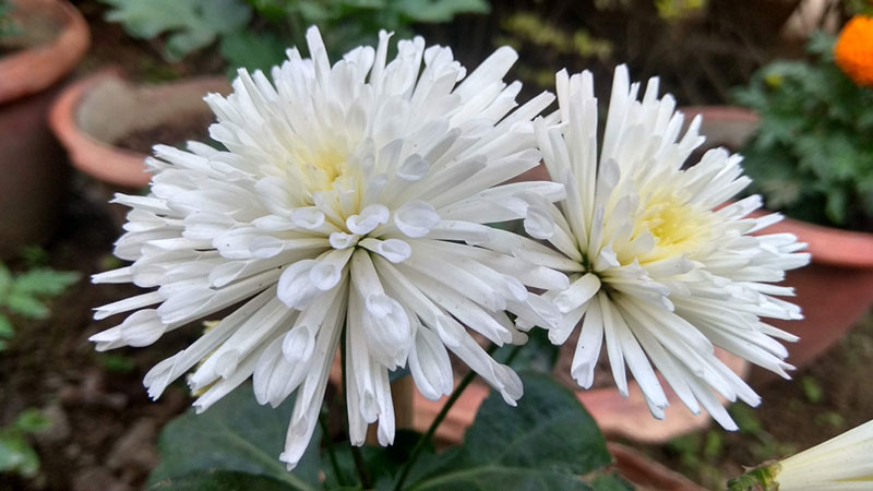 The Different Types Of Chrysanthemums Garden Lovers Club