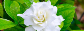 Growing Beautiful Cape Jasmine (Gardenia jasminoides)