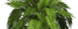 Tips for Growing Cat Palm