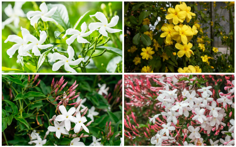 10 Different Types Of Jasmine Plants Photos Garden Lovers Club