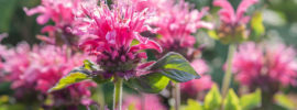 Tips on Growing and Caring for Bee Balm Plants