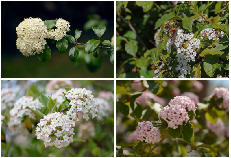 Varieties of Viburnum