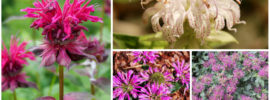 10 Different Varieties of Bee Balm (Monarda)