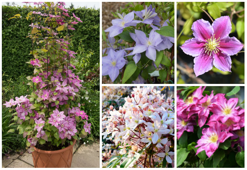 Different Clematis Collage
