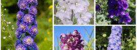 15 Different Types of Delphinium