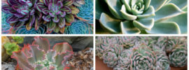 11 Different Types of Echeveria (Photos)