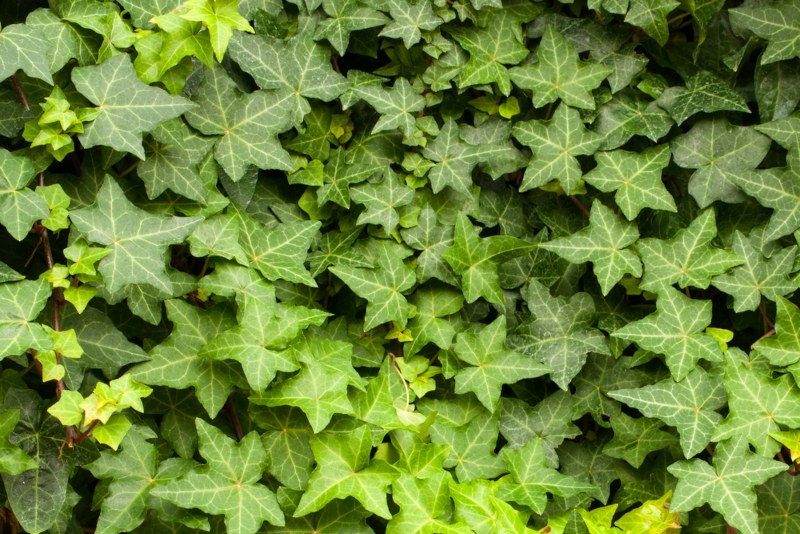 English-Ivy - Hedera-helix